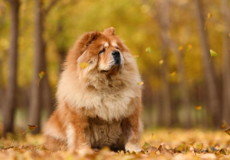 为什么松狮犬很少有人养?这十大原因让人却步