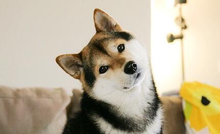 新买的柴犬拉稀不吃东西怎么办?饲养的注意事项有哪些?